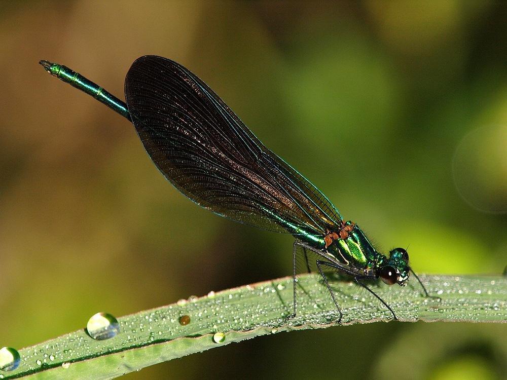 Calopteryx virgo (Jesús Barreda Carbó)