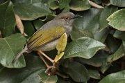 Camaróptera baladora (Grey-backed Camaroptera)