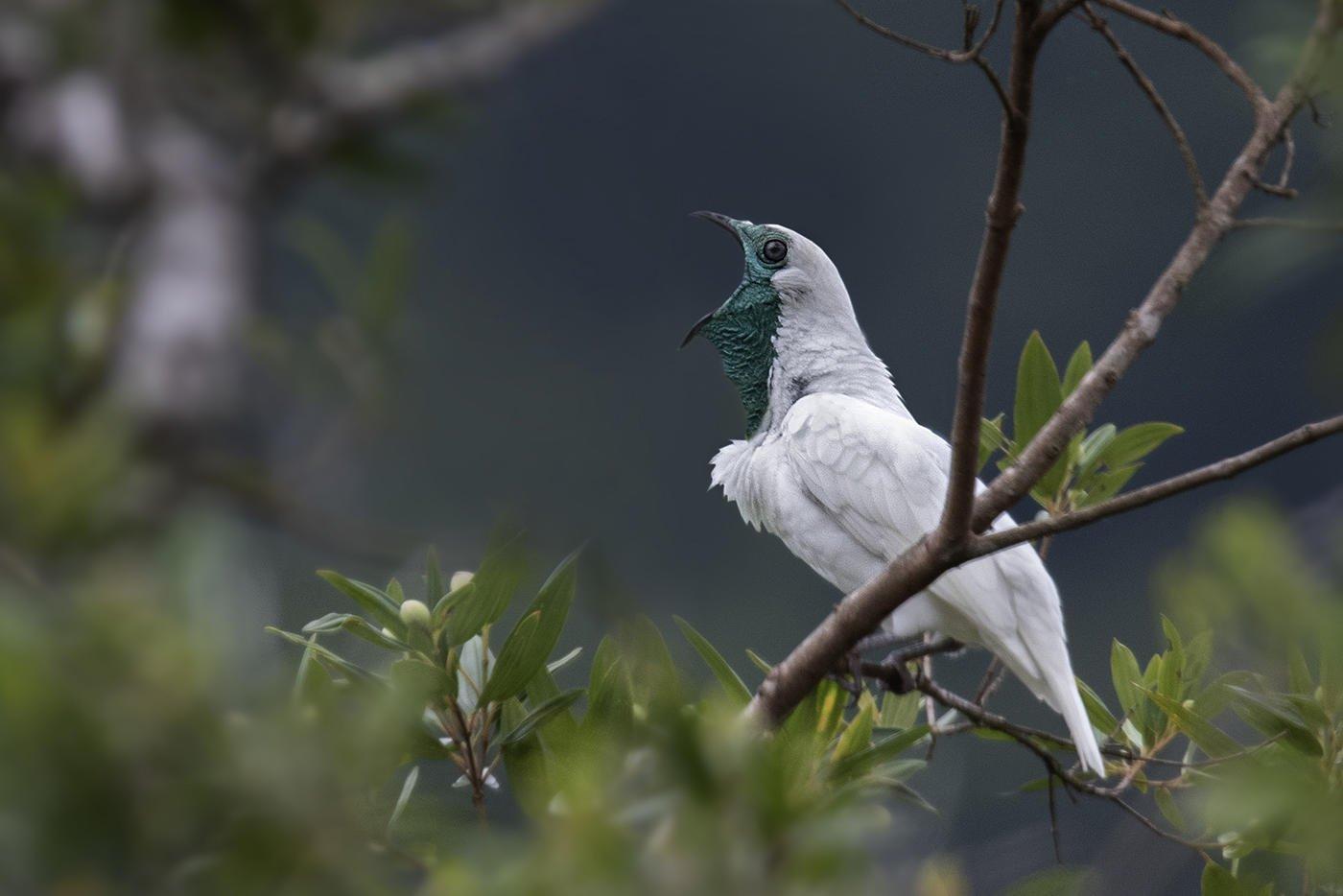 Campanero meridional (Bare-faced Bellbird) (Salvador Solé Soriano)