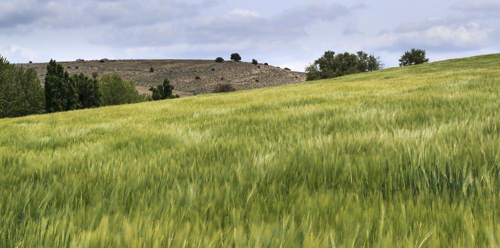 Campo de trigo. (Jesús Portal)