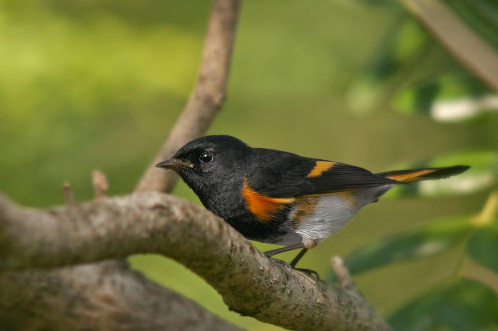 Candelita norteña (American Redstart) (Salvador Solé Soriano)