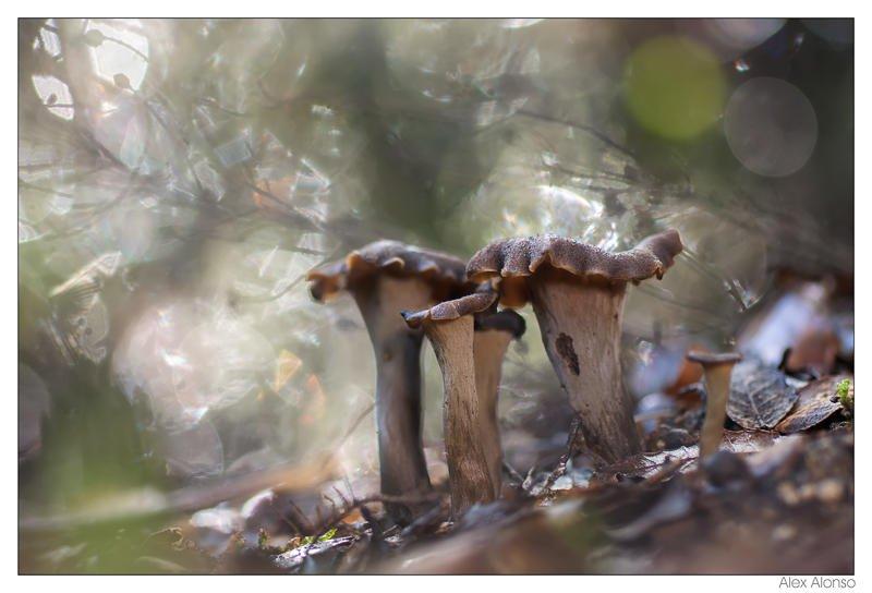 Cantarellus cornucopioides (Alex Alonso)
