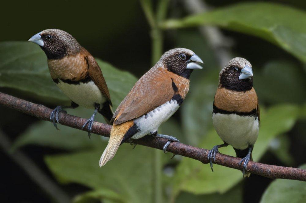 Capuchino pechicastaño (Chestnut-breasted Mannakin)