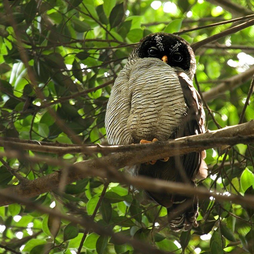 Cárabo blanquinegro (Black-and-white Owl) (Salvador Solé Soriano)