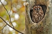 Cárabo común (Tawny Owl)