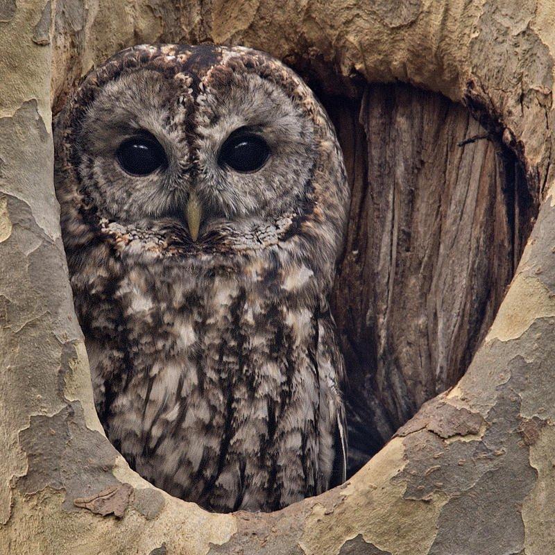 Cárabo común (Tawny Owl) (Salvador Solé Soriano)