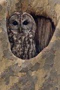 Cárabo común (Tawny Owl) versión vertical