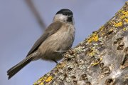 Carbonero palustre (Marsh Tit)