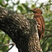 Carpintero rufo (Rufous Woodpecker)