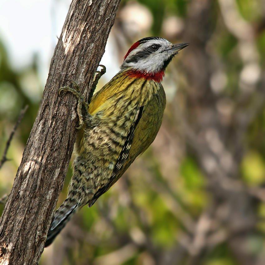 Carpintero tajá (Cuban Green Woodpecker) (Salvador Solé Soriano)