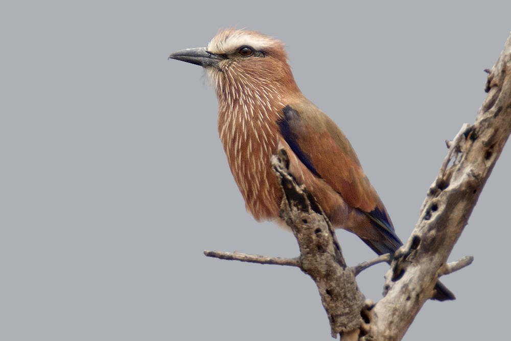 Carraca coroniparda (Purple Roller) (Salvador Solé Soriano)