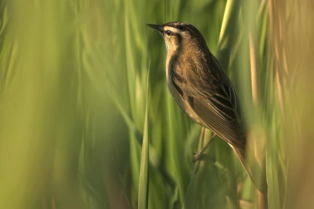 Carricerín común (Sedge Warbler) (Salvador Solé Soriano)
