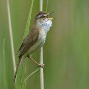 Carricero agrícola (Paddyfield Warbler)