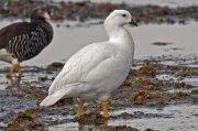 Cauquén caranca (Kelp Goose)