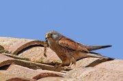 Cernícalo primilla (Lesser Kestrel)