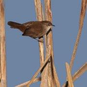 Cetia ruiseñor (Cetti´s Warbler)