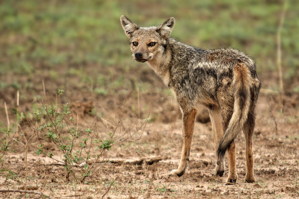 Chacal de lomo negro (Black-backed Jackal) (Salvador Solé Soriano)