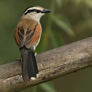 Chagra coroniparda (Brown-crowned Tchagra)