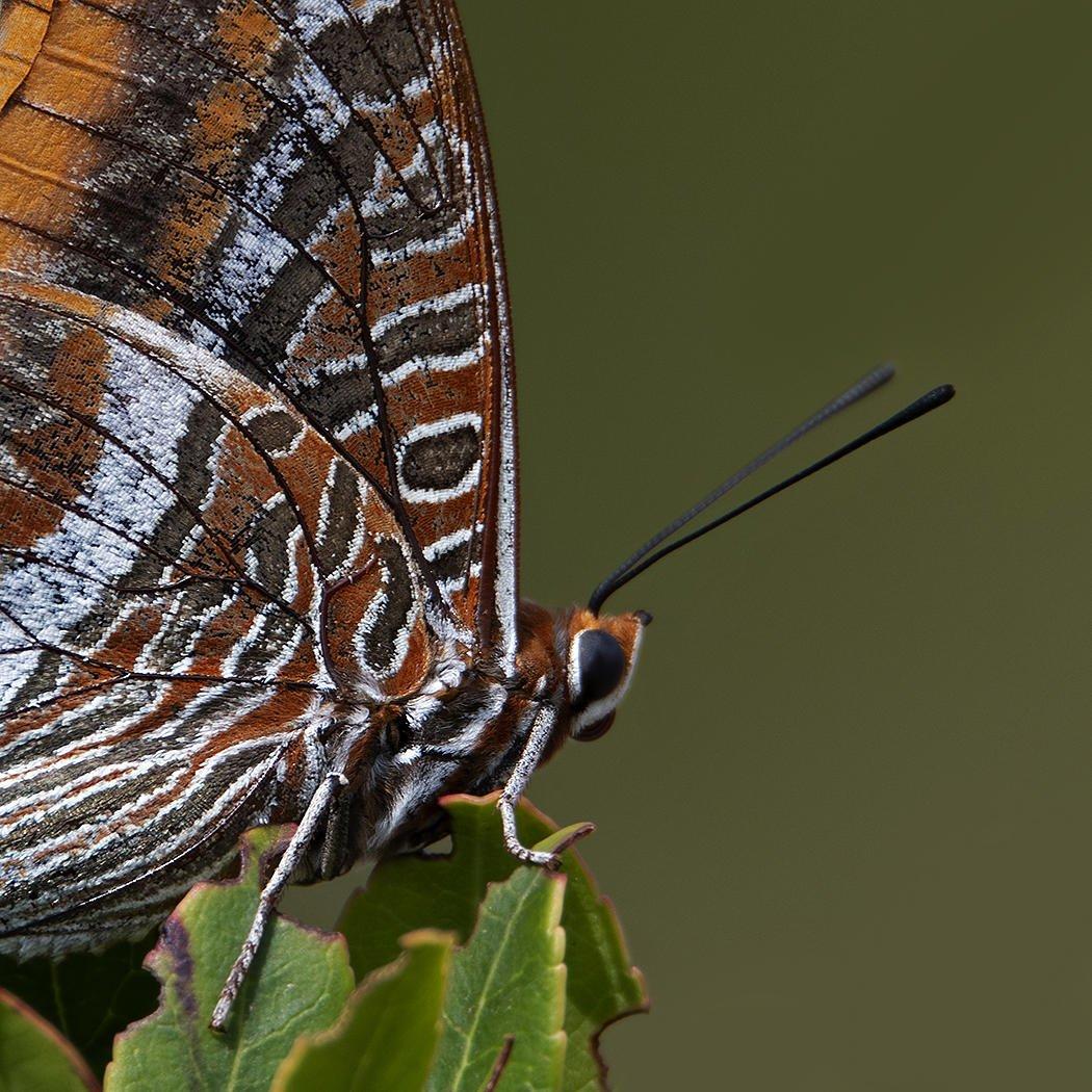 Charaxes jasius (Mariposa del madroño) (Salvador Solé Soriano)