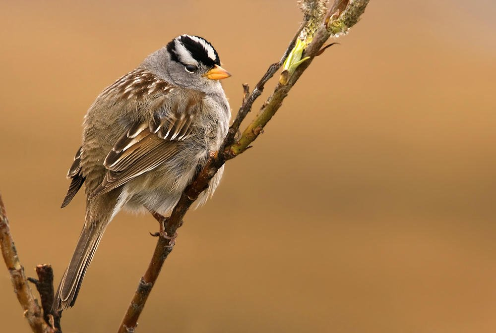 Chingolo coroniblanco (White-crowned Sparrow) (Salvador Solé Soriano)