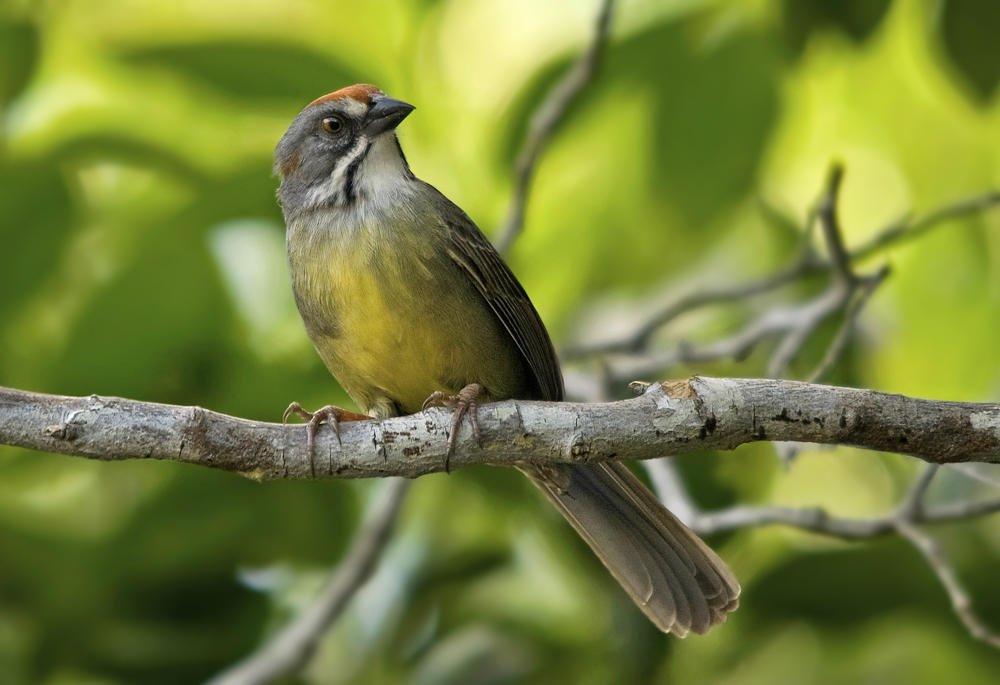 Chingolo de la Ciénaga (Zapata Sparrow) (Salvador Solé Soriano)
