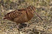Chocha perdiz (Eurasian Woodcock)