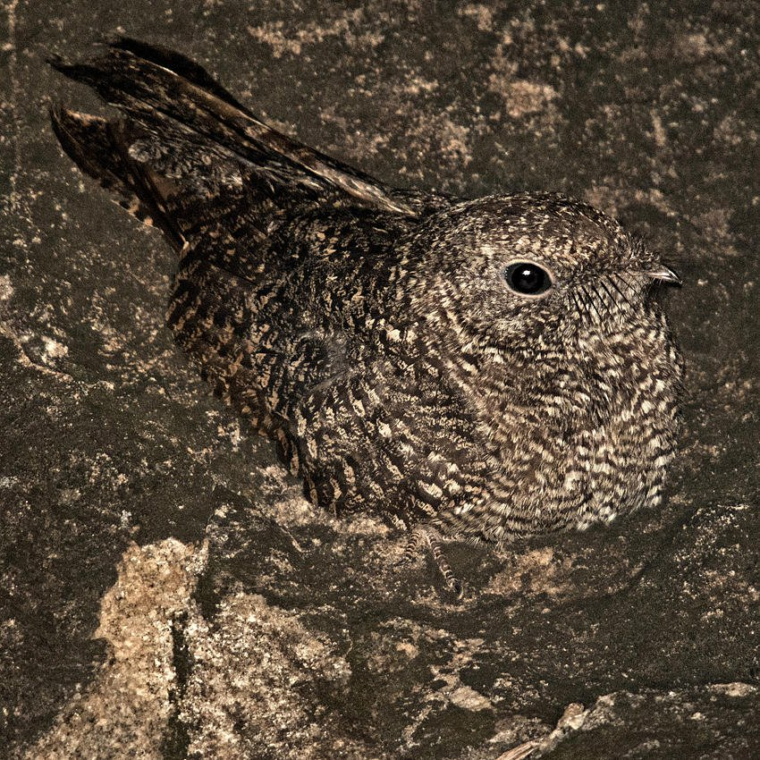Chotacabras pecoso (Freckled Nightjar) (Salvador Solé Soriano)