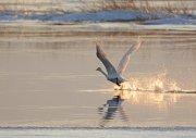 Cisne cantor despegando