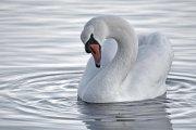 Cisne vulgar (Mute Swan)