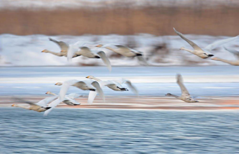 Cisnes cantores volando (Salvador Solé Soriano)