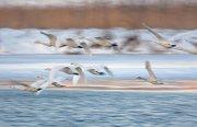 Cisnes cantores volando