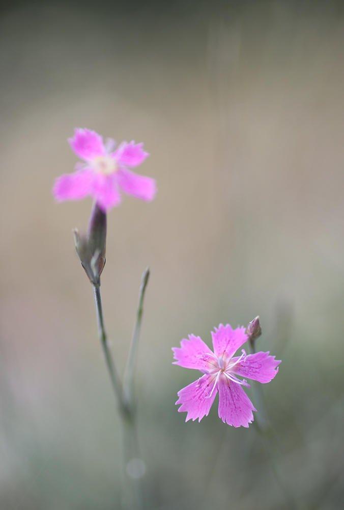 Clavelitos en flor (María Jesús López B.)