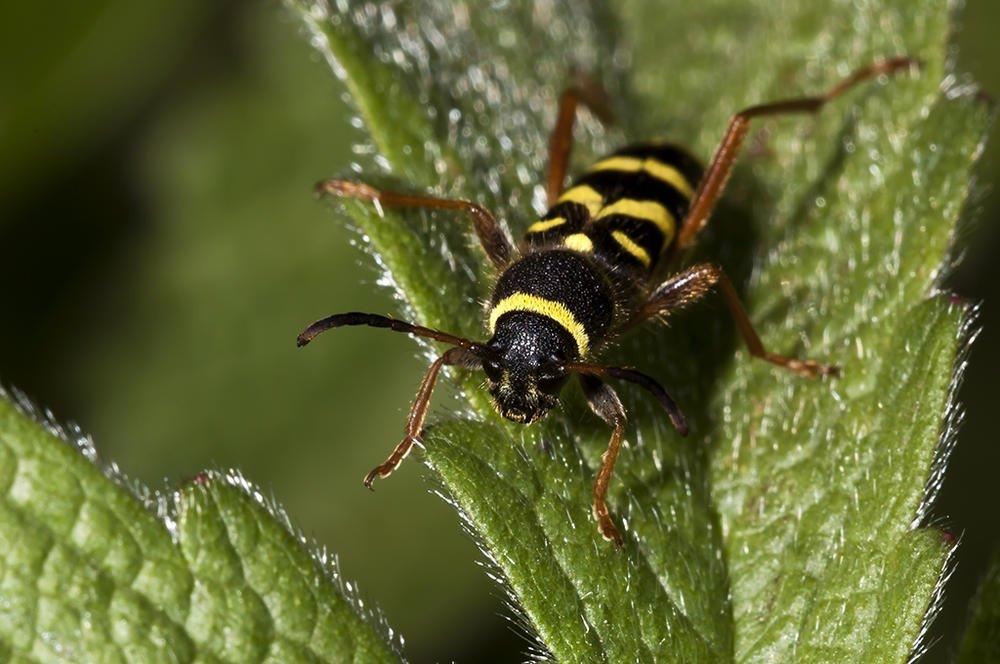 Clytus arietis (Escarabajo avispa) (Jaume Bobet)