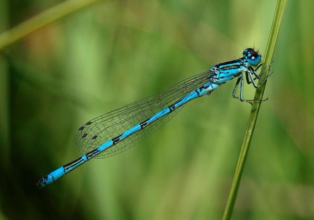 Coenagrion mercuriale (Jesús Barreda Carbó)