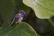 Colibrí volcanero (Volcano Hummingbird)