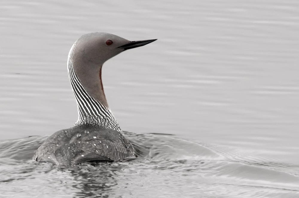 Colimbo chico (Red-throated Diver) (Salvador Solé Soriano)