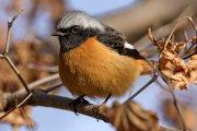 Colirrojo dáurico (Daurian Redstart)