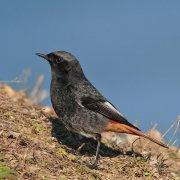 Colirrojo tizón (Black Redstart)