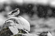 Collalba gris bajo la nevada