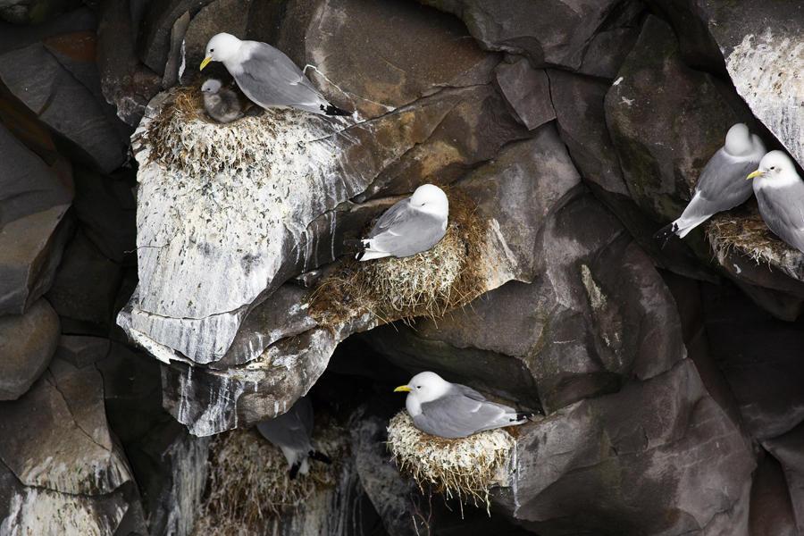 Colonia tridáctila, Islandia (david Pérez Hens)