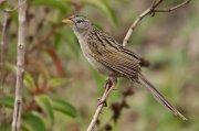Coludo colicuña (Wedge-tailed Grass-finch)