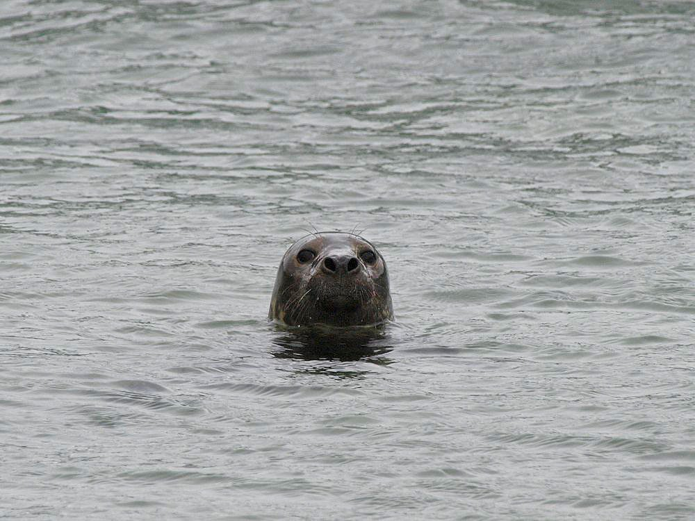 Common Seal  (Jesús Barreda Carbó)