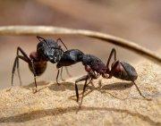 conversación entre hormigas