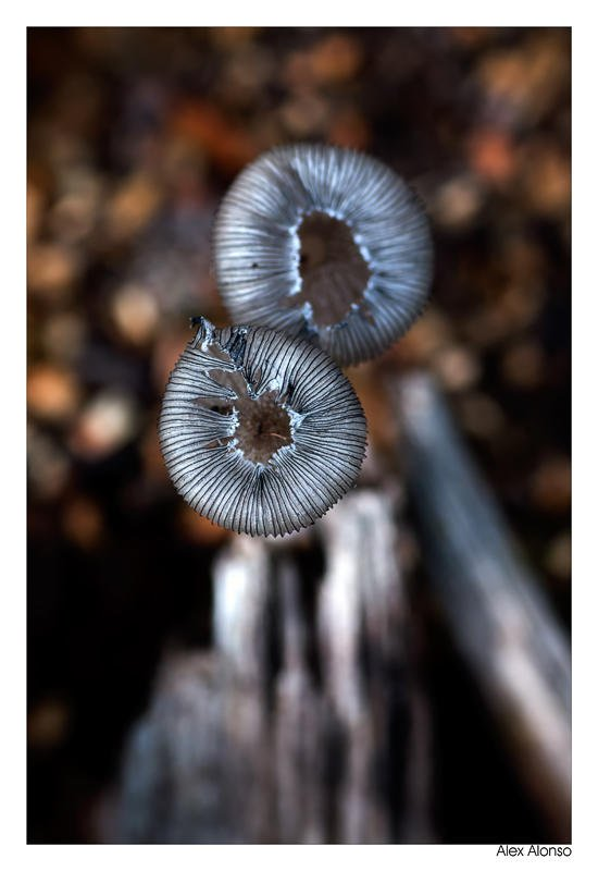Coprinus. (Alex Alonso)