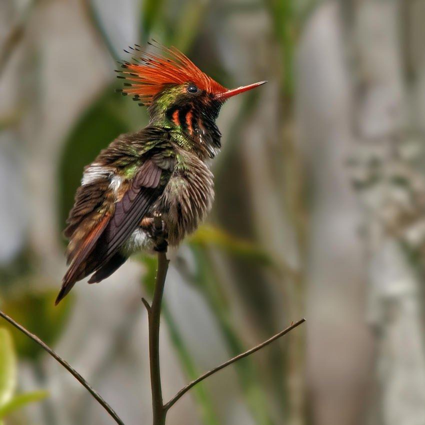 Coqueta crestirrufa (Rufous-crested Coquette) (Salvador Solé Soriano)