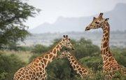 Coreografía de jirafas