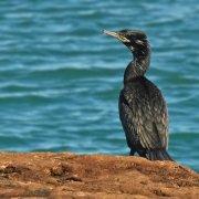 Cormorán biguá (Neotropic Cormorant)