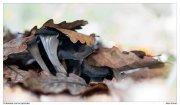 Craterellus conucopioides