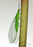 Crisopa (Chrysopa perla)
