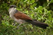 Cucal cejiblanco (White-browed Coucal)